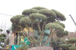 посадка крупномерных деревьев